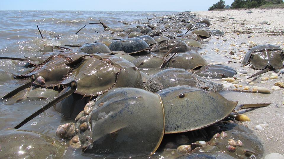 Horsehsoe Crabs Pickering Beach