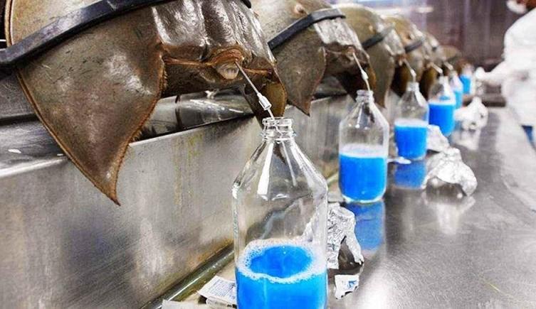 Horseshoe Crab Blood Business Insider Two Column.jpg.thumb.768.768